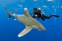 oceanic whitetip shark, Carcharhinus longimanus, with pilot fish, Naucrates ductor, and scuba diver, Columbus Point, Cat Island, Bahamas, Caribbean Sea, Atlantic Ocean