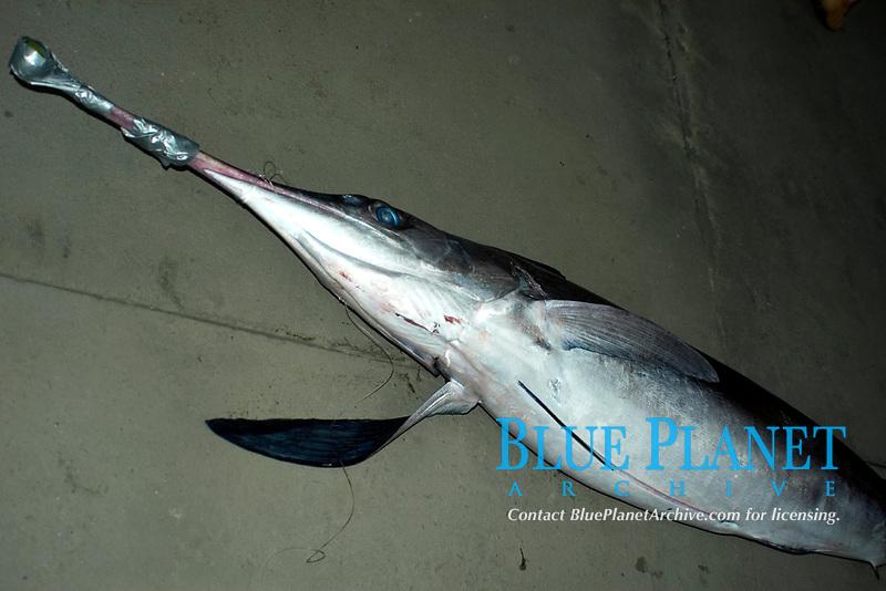 Swordfish, Xiphias gladius, Vitoria, Espirito Santo, Brazil