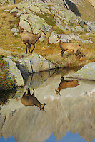 Chamois (Rupicapra rupicapra), adult with young with reflection in lake, Grimsel, Bern, Switzerland, Grimsel, Bern, Switzerland