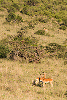 Tanzania. Serengeti. Female Impalas Alert for Danger, Lion on Hillside.