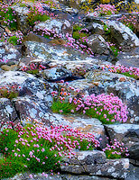 Sea Pink or Sea Thrift wildflowers in rosks with lichens . Near Port Bradden. Northern Ireland