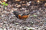 Spotted Towhee, Port Angeles, Washington.