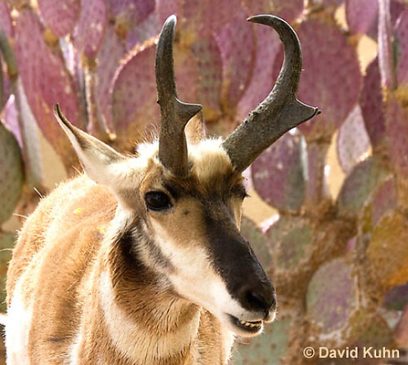 0606-1115  Pronghorn (Prong Buck) in Sonoran Desert, Antilocapra americana  © David Kuhn/Dwight Kuhn Photography