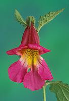 Chinese foxglove, Rehmannia elata, blooms spring through summer