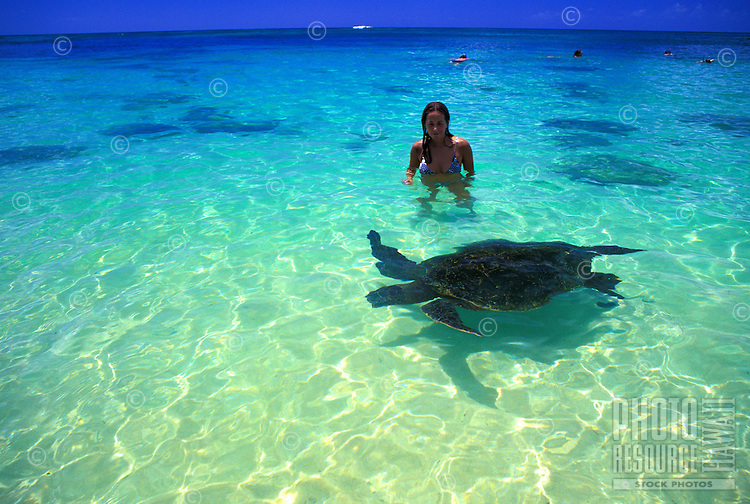 Hawaiian green sea turtles, Chelonia mydas, come face to face with visitors to Laniakea beach on Oahu's north shore. Feeding the turtles, which are a threatened species, is against the law.