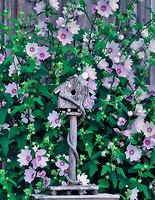 Birdhouse with Mallow (sp Lavatera) flowers. Information center, Cannon Beach, Oregon.