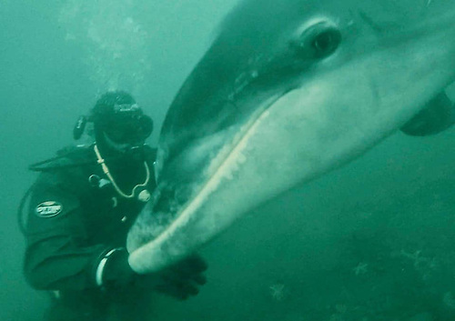 Finn the dolphin greets experienced divers checking on his welfare in Carlingford Lough earlier this month