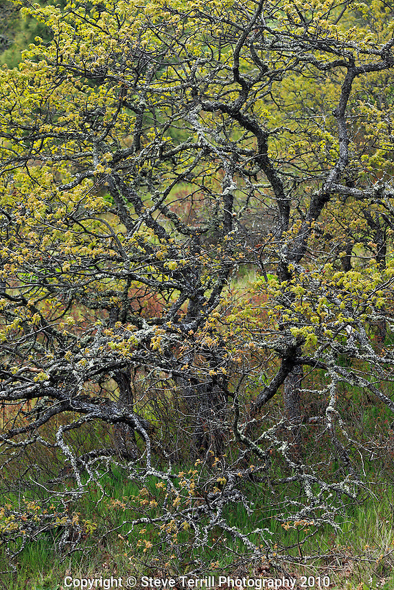 Oak tree with new growth on Rowena Plateau in Columbia River Gorge National Scenic Area, Oregon