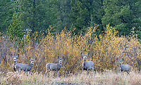 Mule deer stare back across Soda Butte Creek across from our property outside the park.