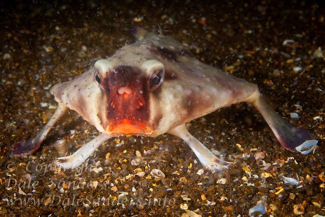 Red Lipped Batfish (Ogcocephalus darwini) underwater off Isabela Island in the Galapagos Islands of Ecuador.