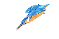 IJsvogel (Alcedo atthis),