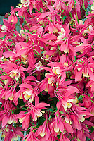 Aquilegia 'Apollo' red and yellow columbine spring blooming perennial flowers, filling entire frame with many blooms