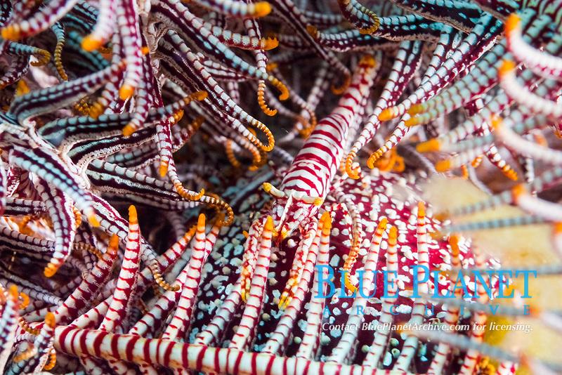 Crinoid shrimp, Periclimenes amboinensis, camouflage, Apo Island, Philippines, Pacific Ocean