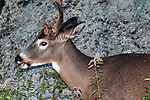 Whitetail Deer buck, 3/4 shot facing left.