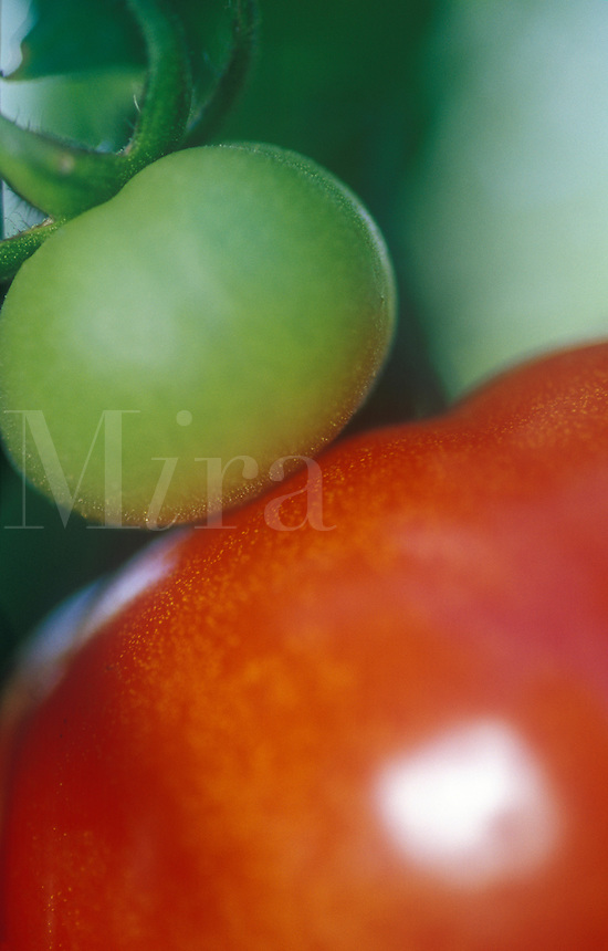 Tomatoes red and green