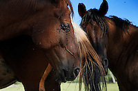 "Horses flick flies off each others faces with their tails.  <br /> Dianne Nelson has saved mustangs on a ranch in northern California at the Wild Horse Sanctuary.  ""It was in 1978 that the Wild Horse Sanctuary founders rounded up almost 300 wild horses for the Forest Service in Modoc County, California. Of those 300, 80 were found to be un-adoptable and were scheduled to be destroyed at a government holding facility near Tule Lake, California. <br /> <br /> The Sanctuary is located near Shingletown, California on 5,000 acres of lush lava rock-strewn mountain meadow and forest land. Black Butte is to the west and towering Mt. Lassen is to the east. <br /> Their goals:.Increase public awareness of the genetic, biological, and social value of America's wild horses through pack trips on the sanctuary, publications, mass media, and public outreach programs.<br /> Continue to develop a working, replicable model for the proper and responsible management of wild horses in their natural habitat..Demonstrate that wild horses can co-exist on the open range in ecological balance with many diverse species of wildlife, including black bear, bobcat, mountain lion, wild turkeys, badger, and gray fox.<br /> Collaborate with research projects in order to document the intricate and unique social structure, biology, reversible fertility control, and native intelligence of the wild horse."