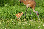 Sandhill crane and colt in a northern Wisconsin field.