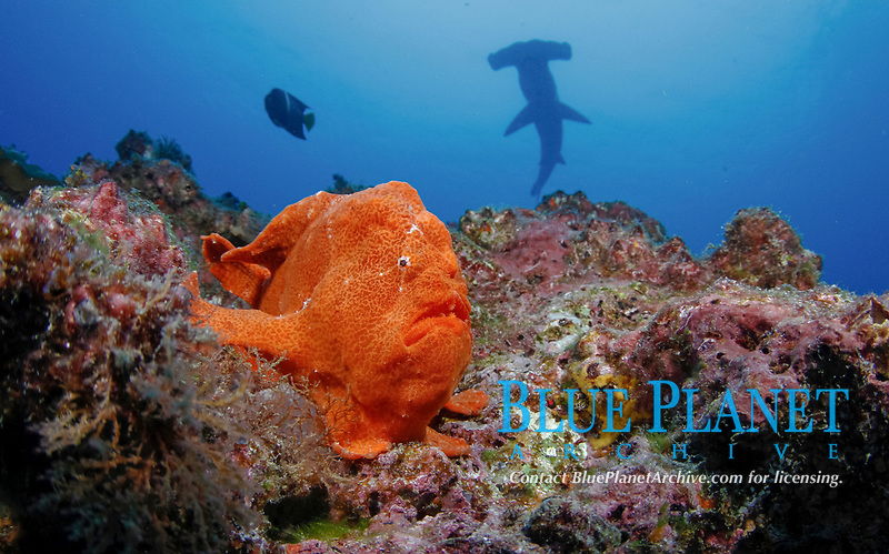Commerson's frogfish, Antennarius commerson, or also known as giant frogfish, scalloped hammerhead shark, endangered species in background, Sphyrna lewini, Cocos Island National Park, Costa Rica, Pacific Ocean