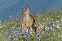 Columbian black-tailed deer (Odocoileus hemionus columbianus) doe and fawn in subalpine meadow surrounded by wildflowers--lupine and bistort.  Pacific Northwest.  Summer.