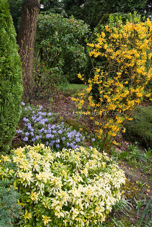 Rhododendron blue flowers, forsythia in spring bloom with Choisya Sundance  for a fresh spring blooming garden scene