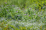 Blue Flag Iris (Iris versicolor) and Forget-me-not (Myosotis) in Calais, VT, USA