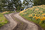 Hikers on a road on Mount Jumbo in Missoula, Montana with arrow leaf balsamroot flowers
