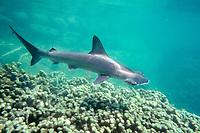 scalloped hammerhead shark pup,    Sphyrna lewini,    Kaneohe Bay, Oahu, Hawaii, North Pacific Ocean