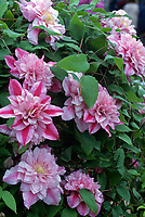 Clematis 'Patricia Ann Fretwell' = 'Pafar', pink double striped climbing vine