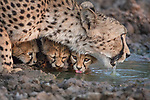 Protective mother cheetah has a watchful eye out to protect her cubs by Kevin Dooley