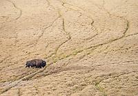 A bull bison blazes his own trail through the autumn grasses of Hayden Valley.