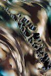 The detail of a giant clam, Tridacna sp., Spice Islands, Maluku Region, Halmahera, Indonesia, Pacific Ocean