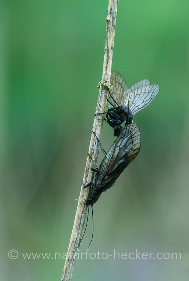 Schlammfliege, Paarung, Kopulation, Kopula, Schlamm-Fliege, Sialis spec., Sialis sp., Alderfly, pairing, copula, Schlammfliegen, Wasserflorfliegen, Sialidae, Alderflies