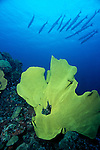 Milne Bay, Papua New Guinea; Giant Lettuce Leaf Coral and Chevron Barracuda (Sphyaena qenie), also known as Blackfin Barracuda, to 100 cm (3 ¼ ft.), form large schools, live in seaward reefs to 50 meters, found in Red Sea and E. Africa to Panama, S.W. Japan to Australia , Copyright © Matthew Meier, matthewmeierphoto.com