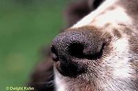 SH23-002z  Dog - English Springer nose close-up
