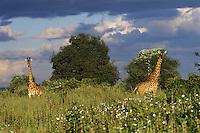 Masai Giraffe (Giraffa camelopardalis), East Africa.  White tissue flowers.
