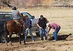 Eastern Oregon, John Day country, calf roundup, spring tagging and inoculations, Highway 395, Mount Vernon, Oregon, Pacific Northwest, U.S.A., ranch country, cowboys, calves, calf roundup,