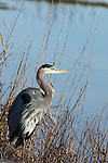 Great blue heron at the Chincoteague National Wildlife Refuge on Assateague Island, Virginia.