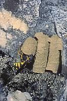 Honigwespe, Nest, Lehmnest, Celonites abbreviatus, Honigwespen, Masarinae