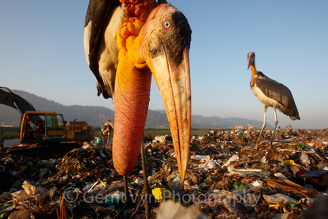 Adult Greater Adjutants fighting over poultry carcass at Boragaon Landfill. Assam, India. at Boragaon Landfill. Assam, India.