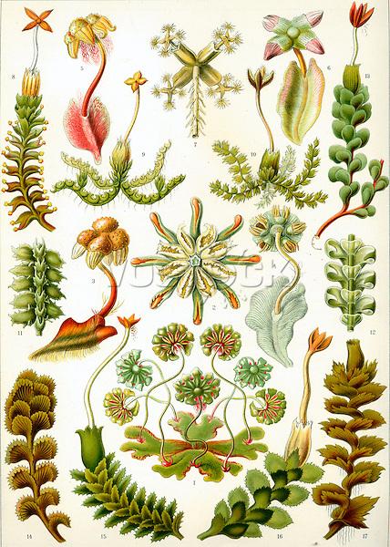 Hepaticae (Liverwort), by Ernst Haeckel, 1904