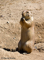 0601-1037  Black-tailed Prairie Dog On Watch by Burrow Hole Entrance, Cynomys ludovicianus  © David Kuhn/Dwight Kuhn Photography