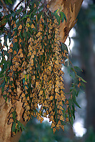 Monarch butterflies cling in group to eucalyptus tree branches and leaves during winter migration, Natural Bridges State Park, Santa Cruz, California Coast.