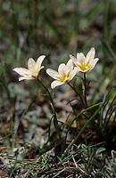 Späte Faltenlilie, Lloydia serotina, Gagea serotina, mountain spiderwort, Snowdon lily