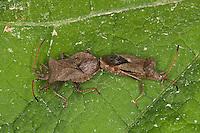 Lederwanze, Saumwanze, Paarung, Kopula, Kopulation, Leder-Wanze, Saum-Wanze, Coreus marginatus, Mesocerus marginatus, squash bug