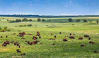 American bison and calfs, buffalo grazing in Nature Conservancy Joseph H. Williams Tallgrass Prairie Preserve, Oklahoma