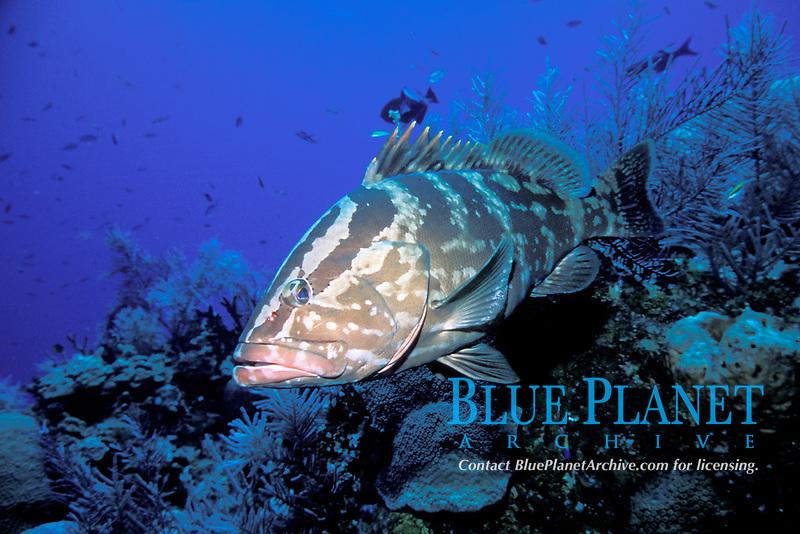 Nassau grouper, Epinephelus striatus, Bahamas, Caribbean, Atlantic