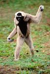 Pileated gibbon walks upright, Southeast Asia