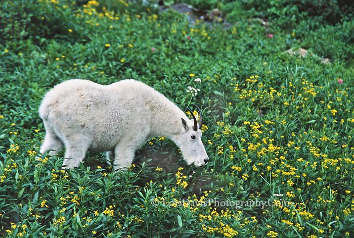 Grazing Mt. Goat   #G3