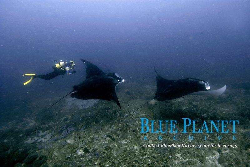 reef manta rays, Mobula alfredi, and diver