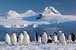 Chinstrap penguins, Half Moon Island, South Shetland Islands, Antarctica